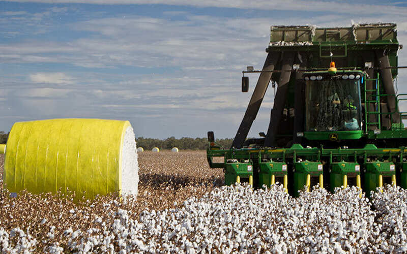 How to harvest cotton