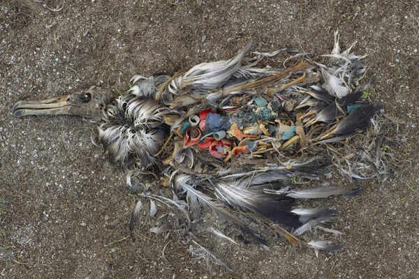 Remains-Of-Sea-Bird-Filled-With-Plastic-Trash-From-Ocean